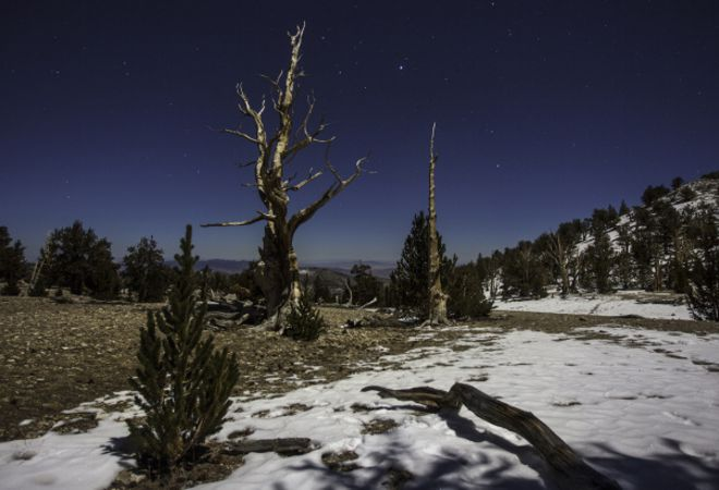 The Bristlecone's Fate